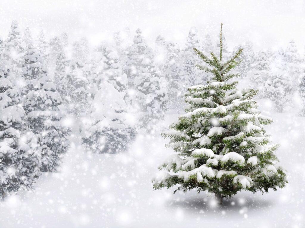 Kako se brinuti o božićnom drvcu?