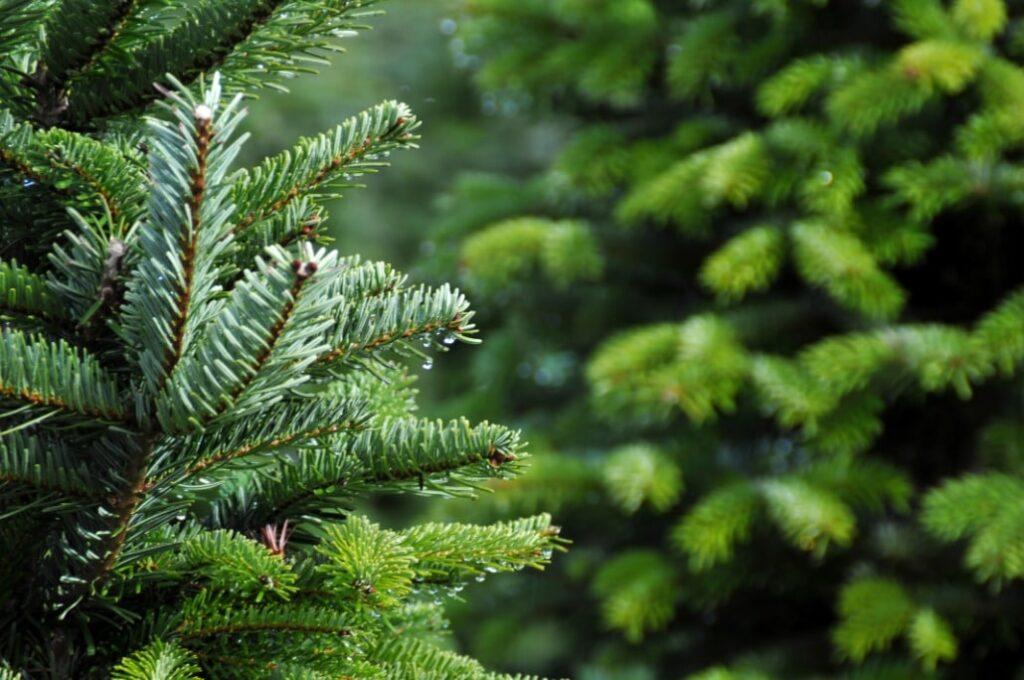 Najljepše božićno drvce -nordijska jela ili srebrna smreka